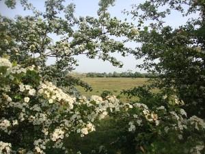 bloeiende heg